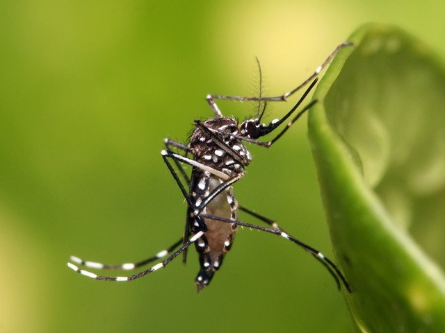 Bacterial Experiment To Reduce The Spread Of Dengue