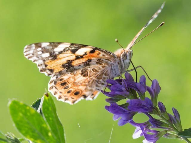 Tiny Butterfly Migrates