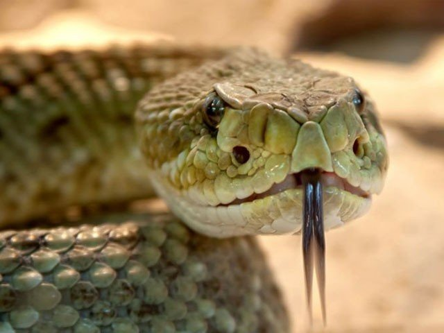 Citizen Chewed The Snake